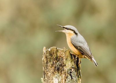 Nuthatch calling