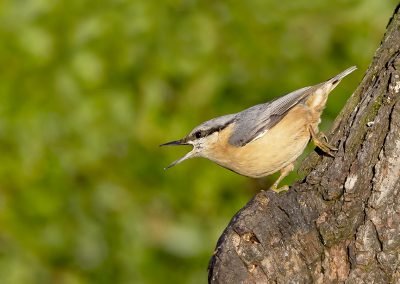 Nuthatch calling 1