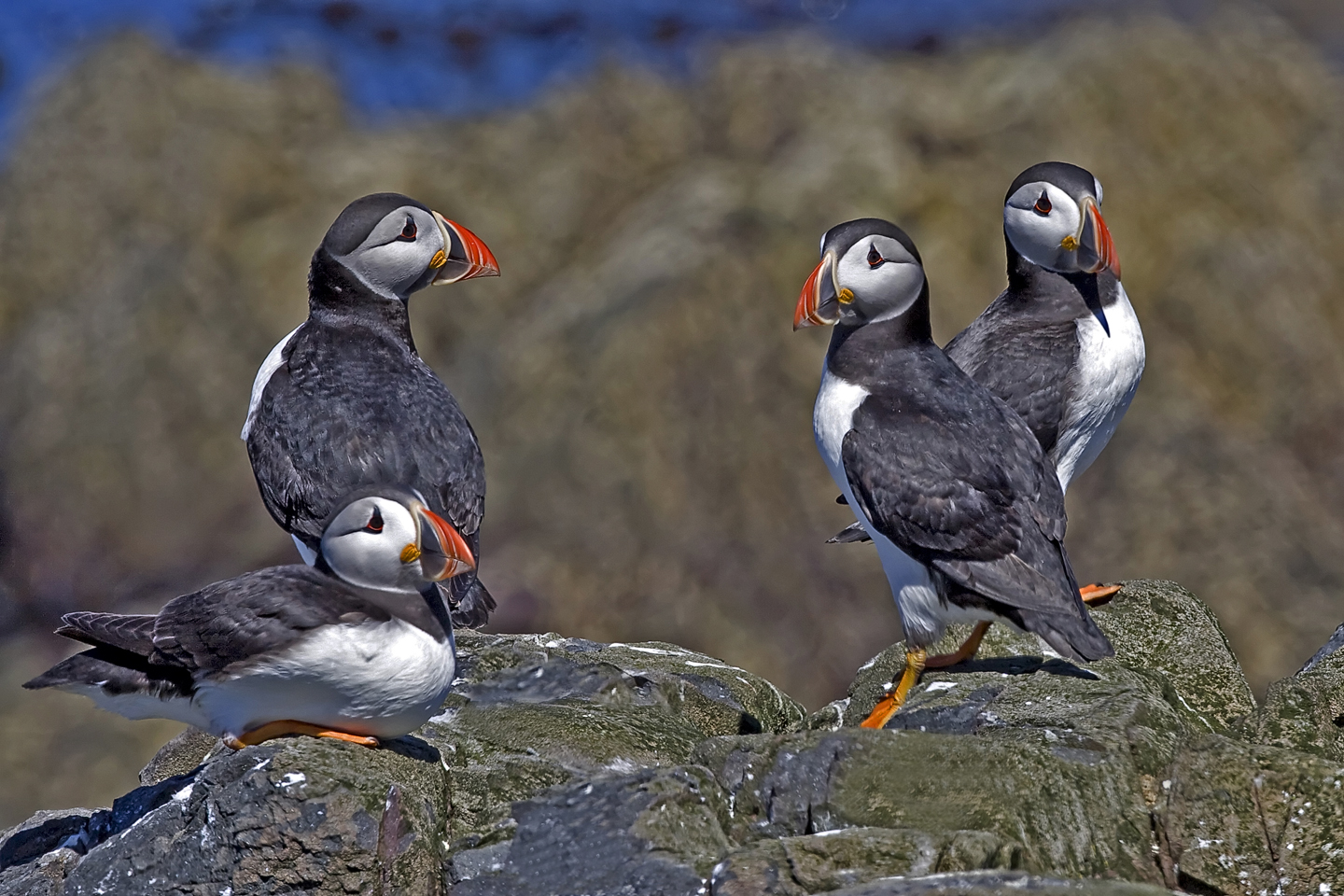 1440 Puffin groupIMG_2288