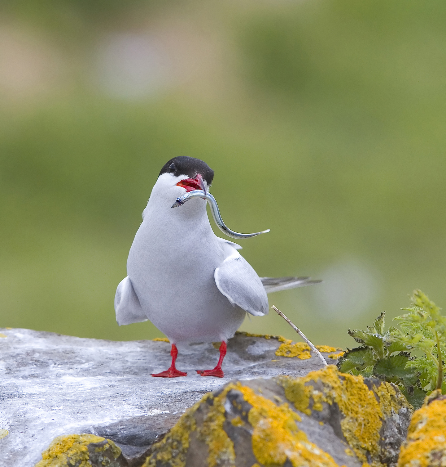 1440 cropped arctic tern IMG_4248