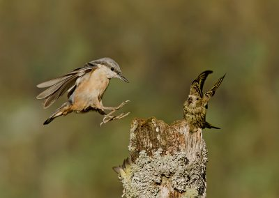 Nuthatch and siskin