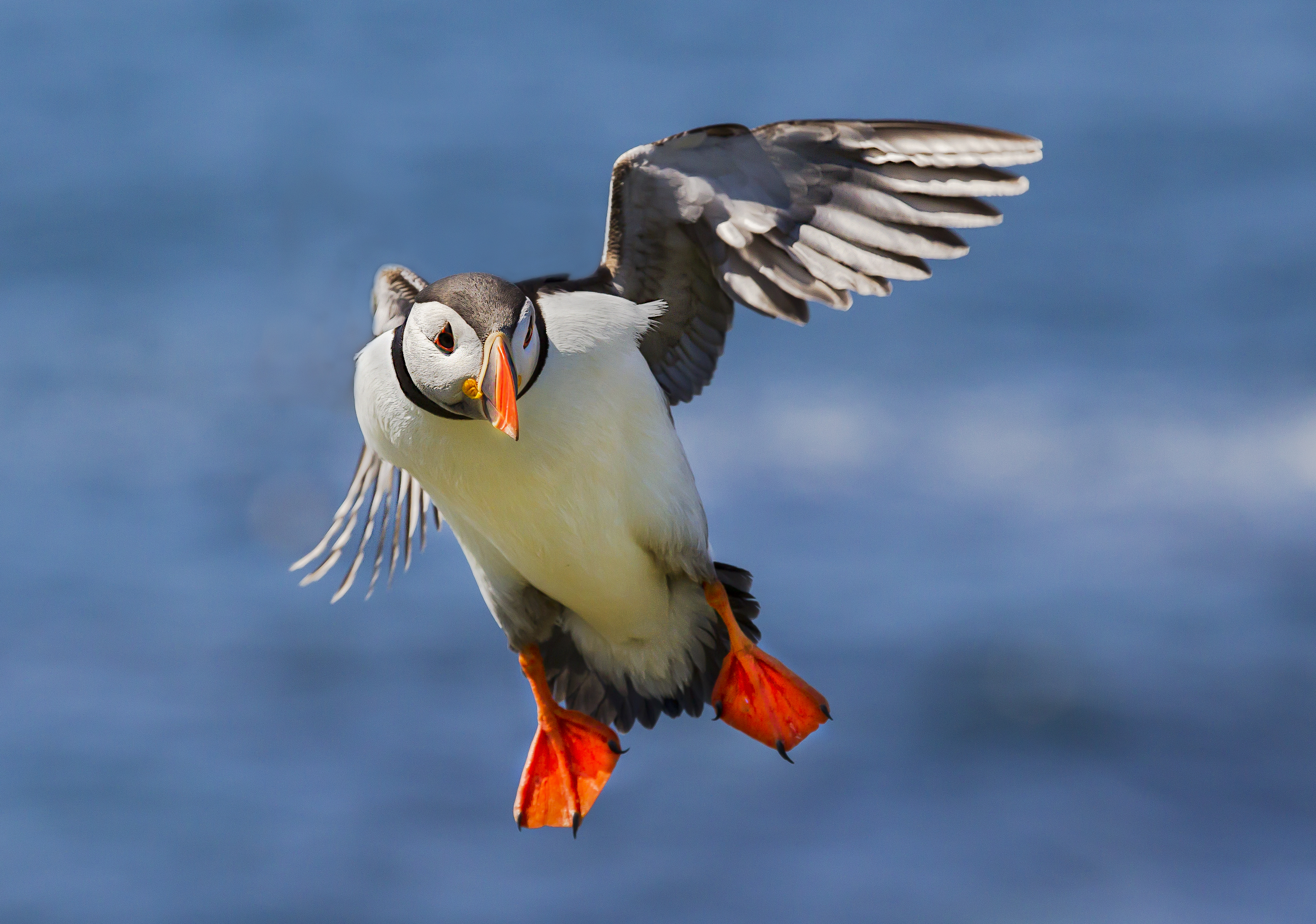 cropped puffin BN3Z0362