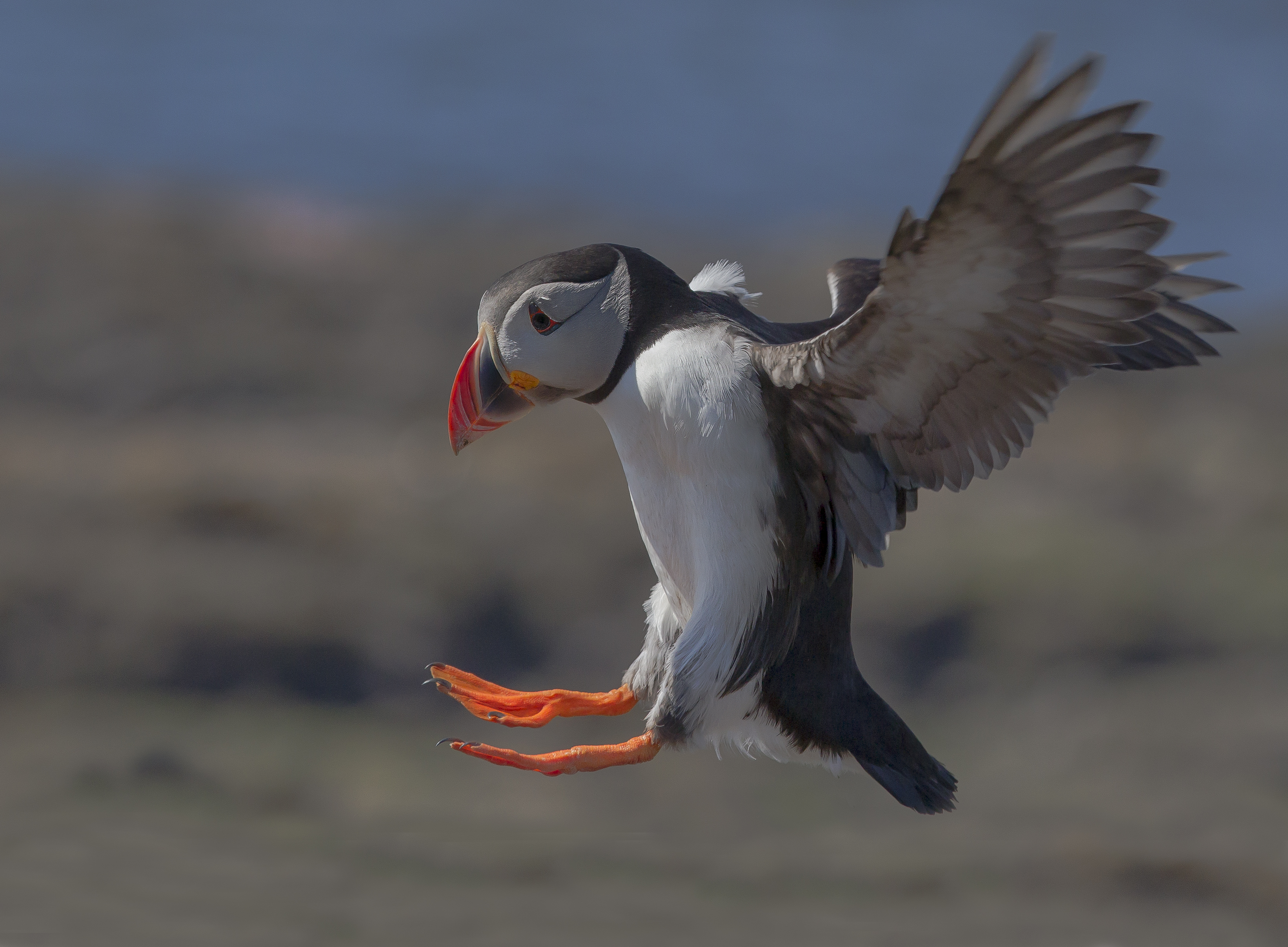 cropped puffin BN3Z0668