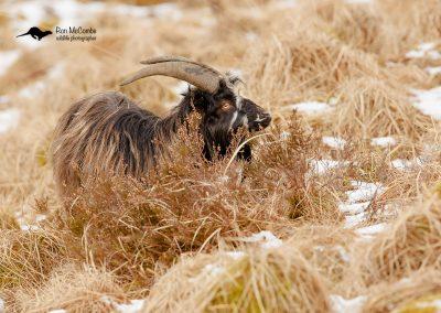 1200 feral goat _F2T0314