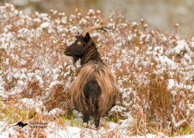 1200 feral goat _I4X5728