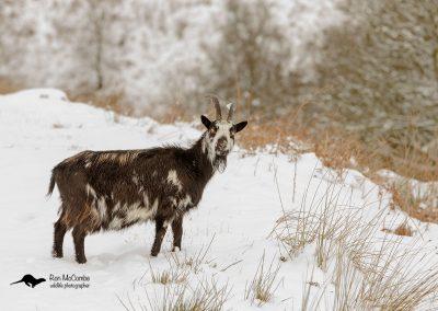 1200 feral goat _I4X5955