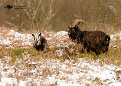 1200 feral goat _I4X6366