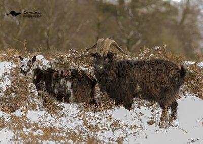 1200 feral goat _I4X6516