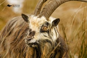 Borders feral goat
