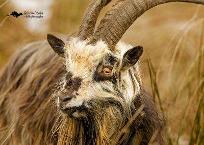 1200 feral goat _I4X7232