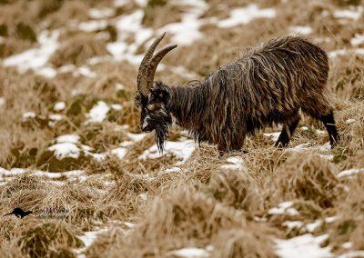 1200 feral goat_F2T0213