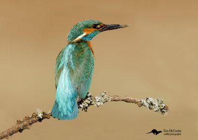 1200 kingfisher _F2T0530