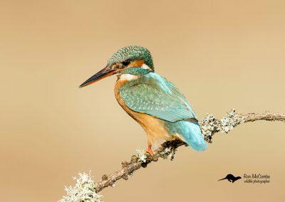1200 kingfisher _F2T0702