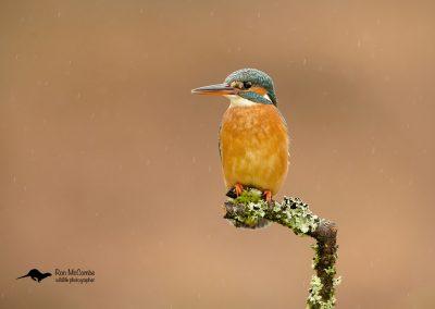 1200 kingfisher _I4X1815