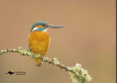 1200 kingfisher _I4X1847