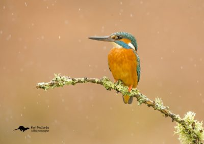 1200 kingfisher _I4X1884