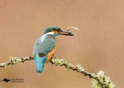 1200 kingfisher _I4X1945