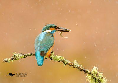 1200 kingfisher_I4X1950