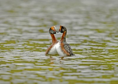 Slavonian Grebe mating display