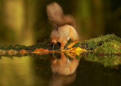 1200 red squirrel _1333033