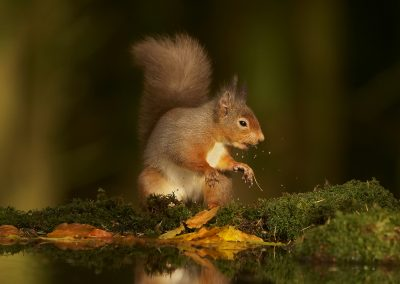 1200 red squirrel _1333039