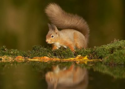 1200 red squirrel _1333153