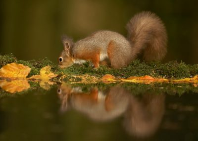 1200 red squirrel _1333172