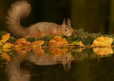 1200 red squirrel _1333244