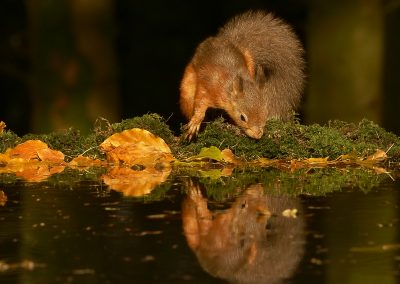 1200 red squirrel _1333452