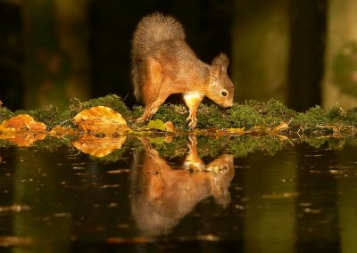 1200 red squirrel _1333456