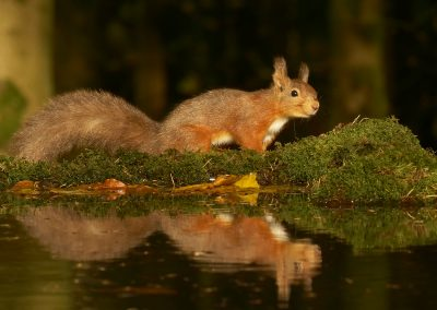 1200 red squirrel _1333470