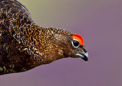 1200 Red Grouse BN3Z3476