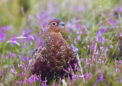 1200 Red Grouse BN3Z9445
