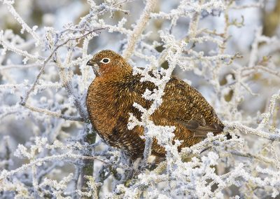 1200 Red Grouse IMG_8317
