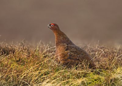1200 red grouse BN3Z1264