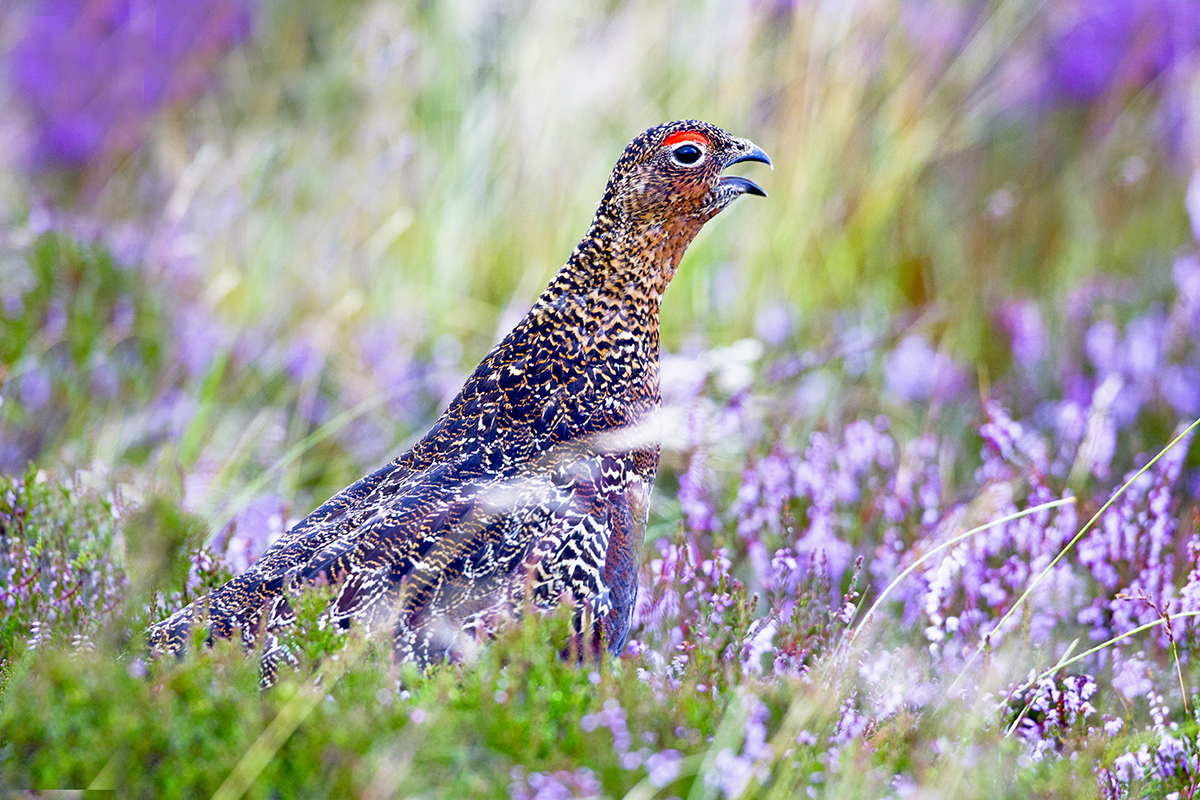 1200 red grouse BN3Z9825