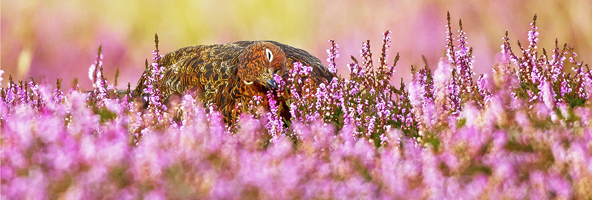 1200 red grouse IMG_0716