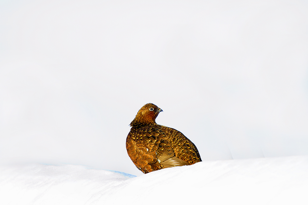 1200 red grouse IMG_1232
