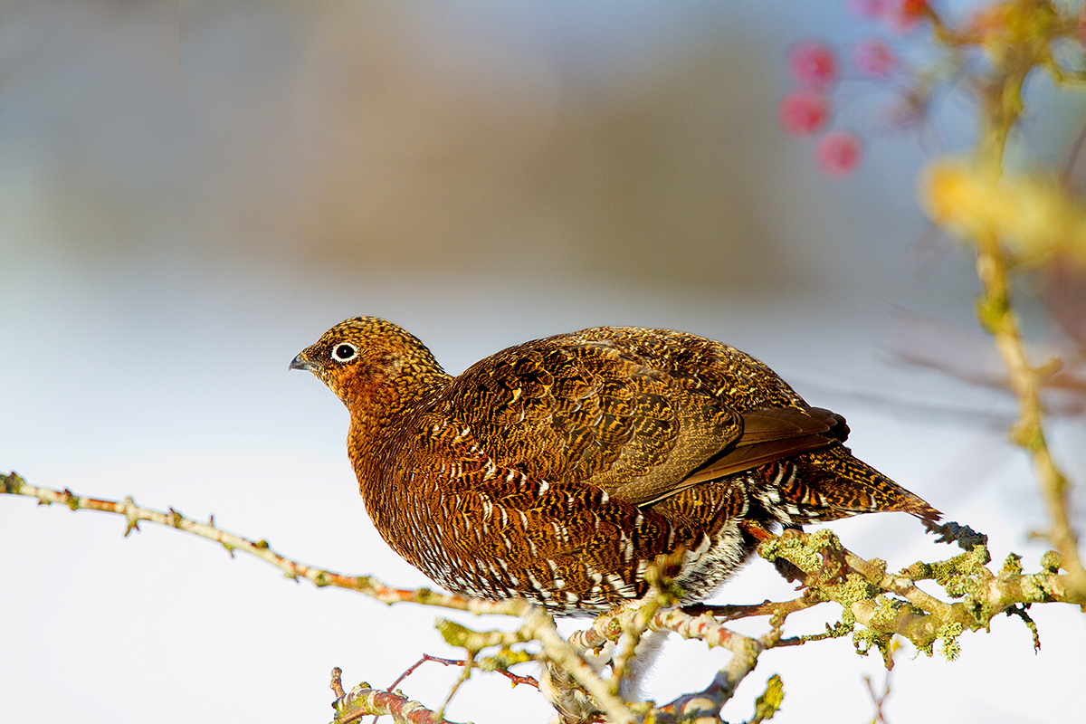 1200 red grouse IMG_1274