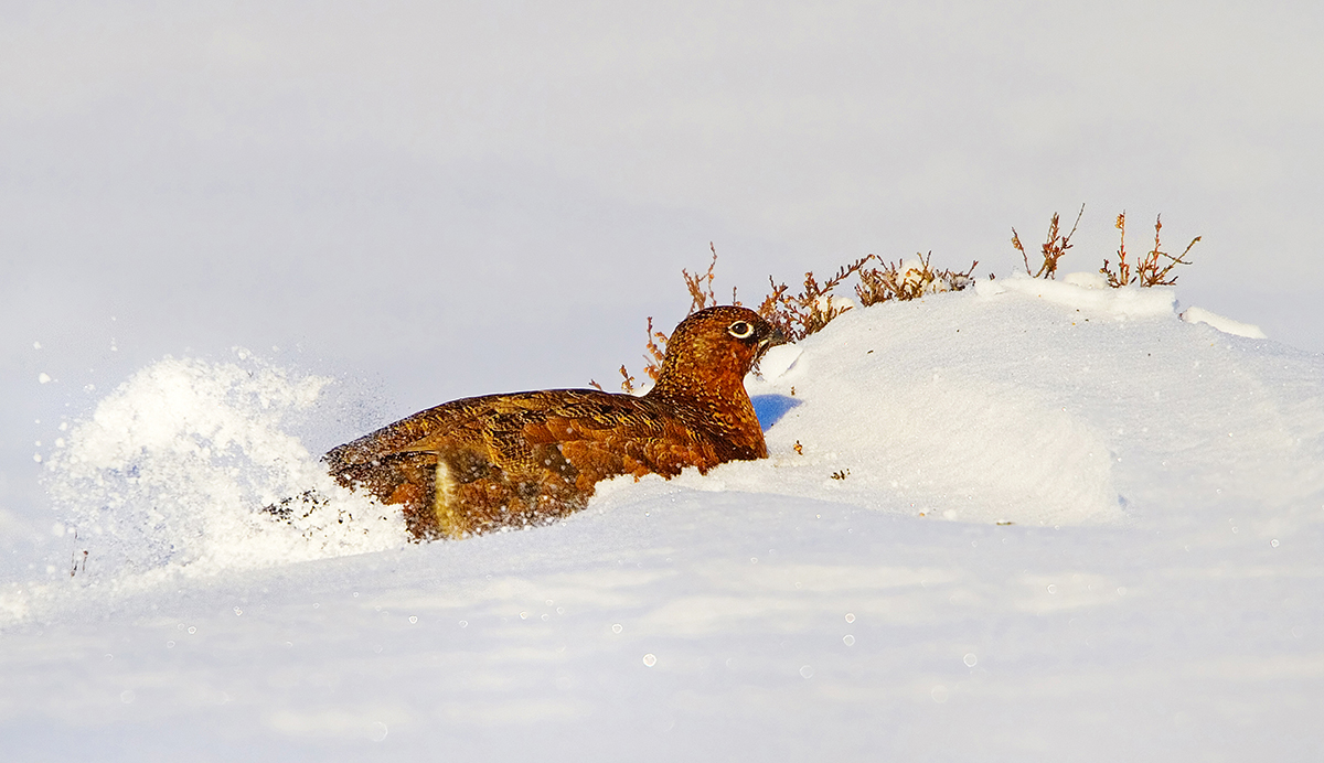 1200 red grouse IMG_2516