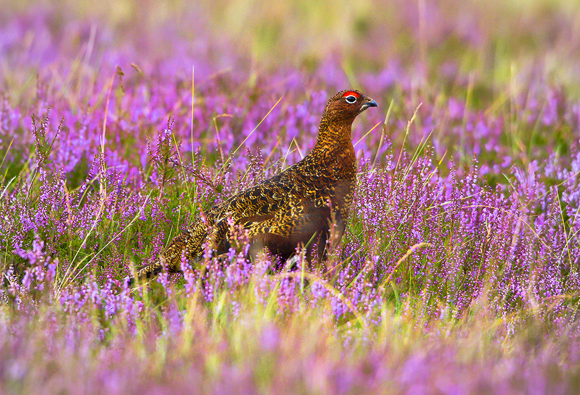 1200 red grouse IMG_7025