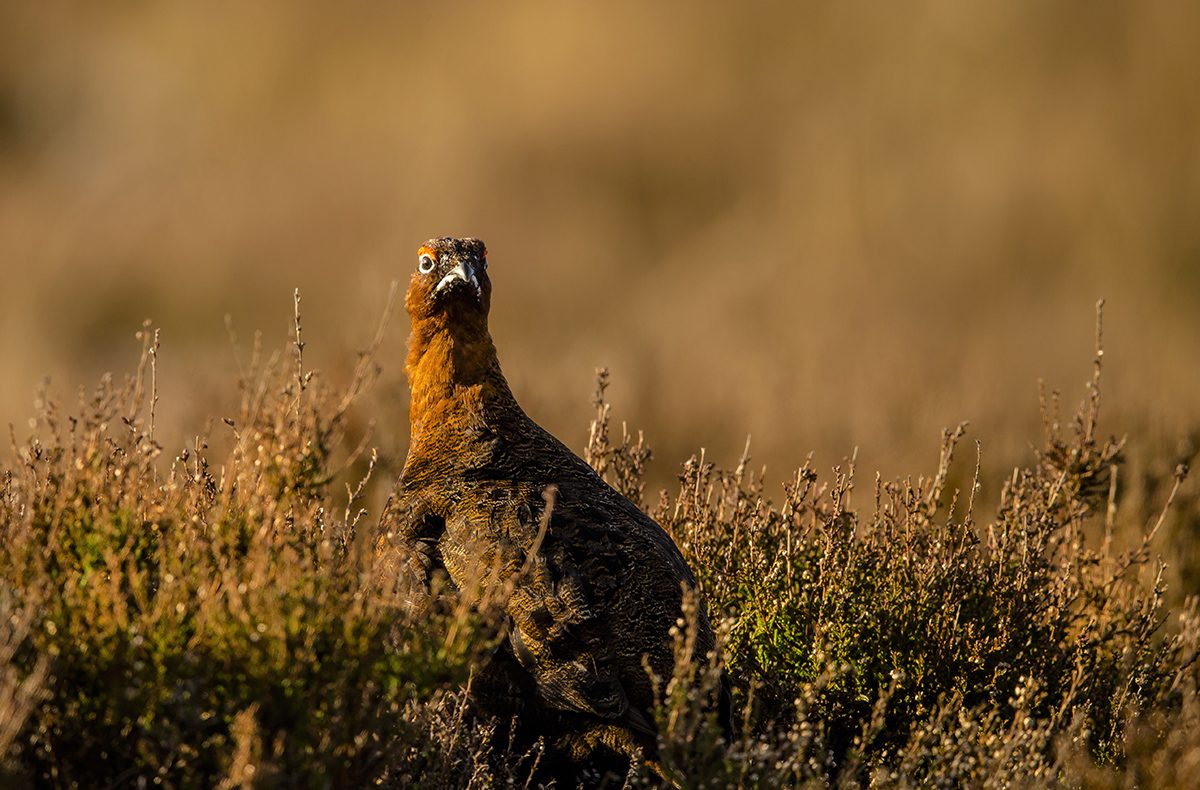 1200 red grouse early morning BI4X6782