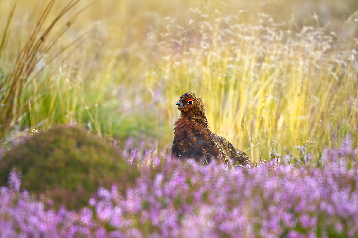 1200 red grouse ruffle IMG_0988