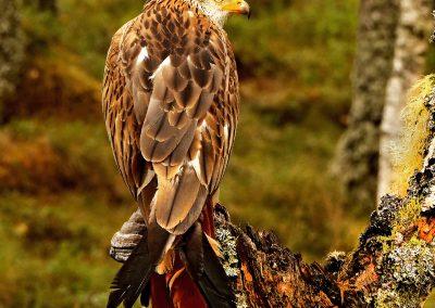 1200 red kite _1079056
