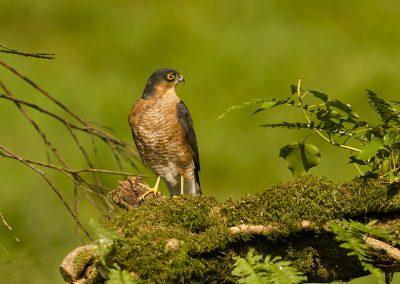 sparrowhawk AF2T7983