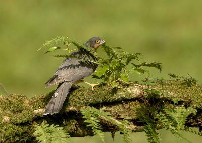 sparrowhawk AF2T8009