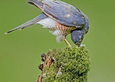 sparrowhawk AF2T8442