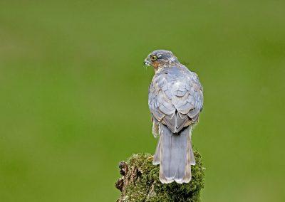 sparrowhawk AF2T8802