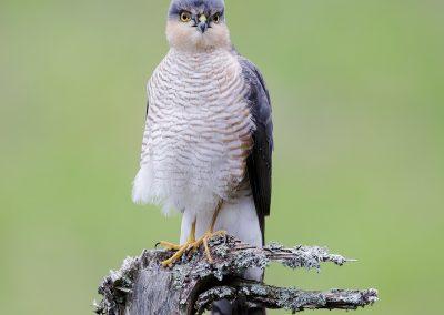 sparrowhawk AF2T9628