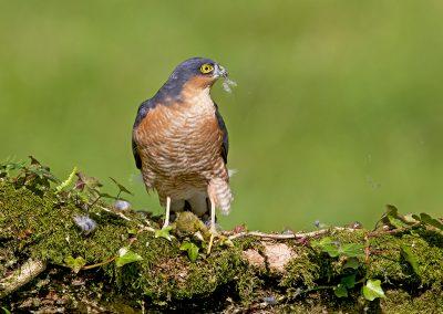sparrowhawk AH4K3783
